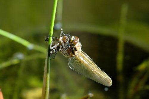 dragonfly hatching insect