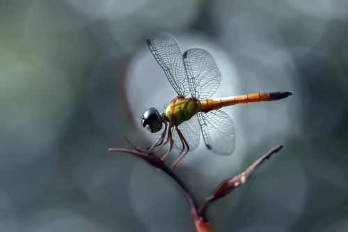 dragonfly insect macro