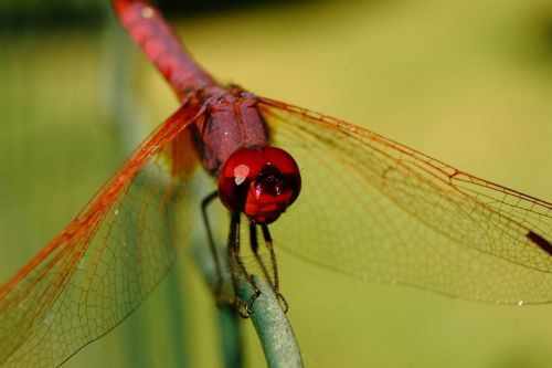 dragonfly insect insects