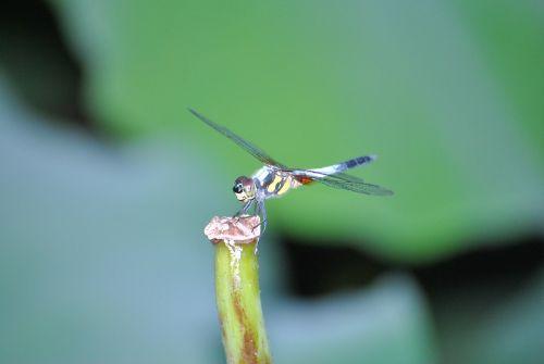 dragonfly lotus leaf macro