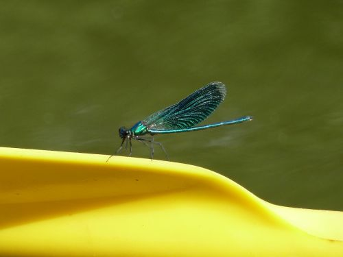 dragonfly insect blue