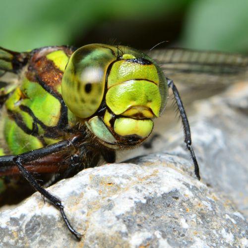 dragonfly green dragonfly hawker