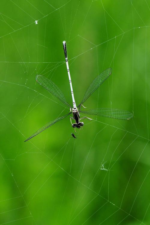 dragonfly macro caught
