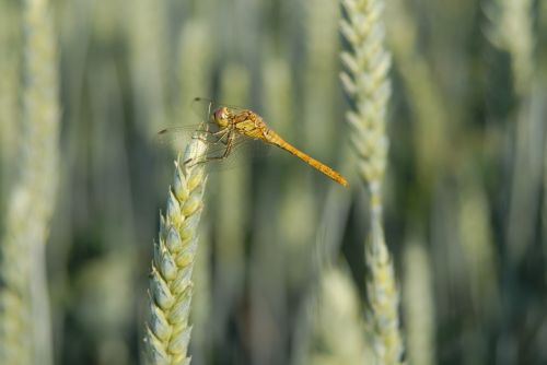 dragonfly wheat cereals