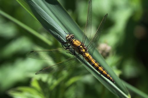 dragonfly insect animal