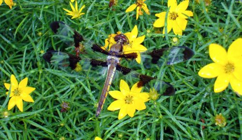 dragonfly dragon-fly dragon fly