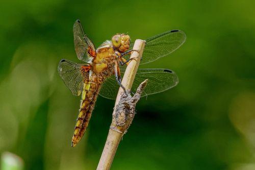 dragonfly dragonflies plattbauch