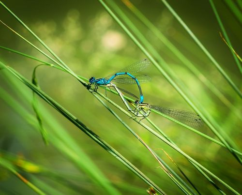 dragonfly pairing dragonflies mating