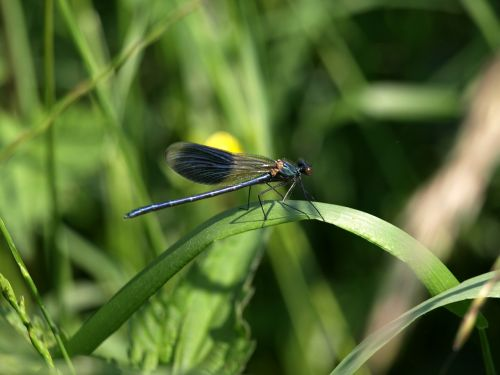 dragonfly grass nature