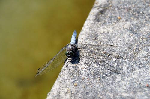 dragonfly insect fly