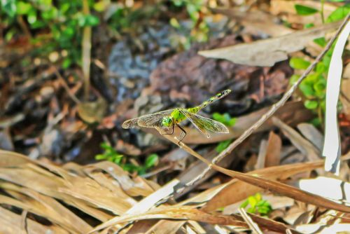 dragonfly insect libellulidae