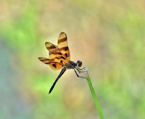dragonfly halloween pennant halloween pennant dragonfly