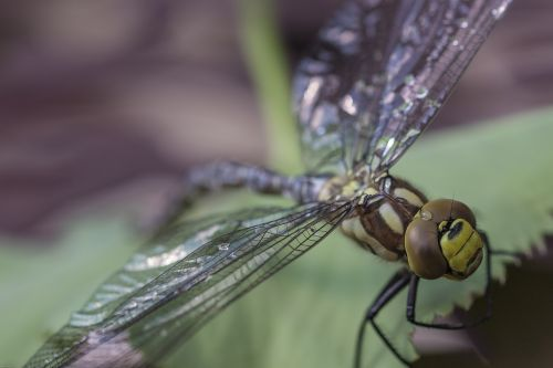 dragonfly hawker insect