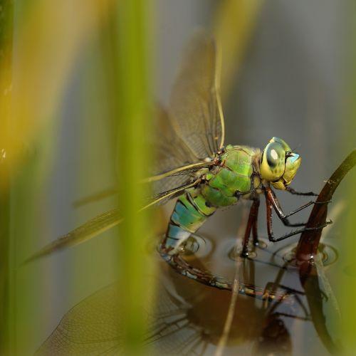 dragonfly hawker pond