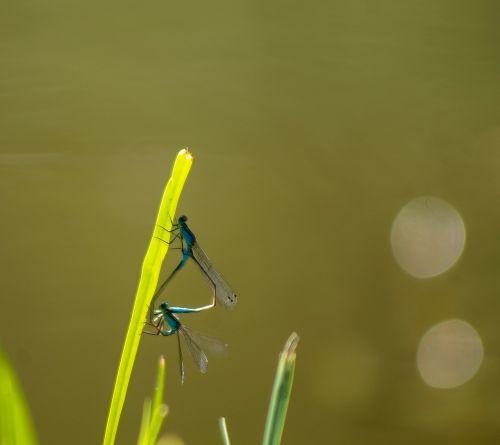 dragonfly dragonfly mating mating