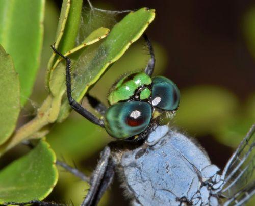 dragonfly pondhawk eastern pondhawk