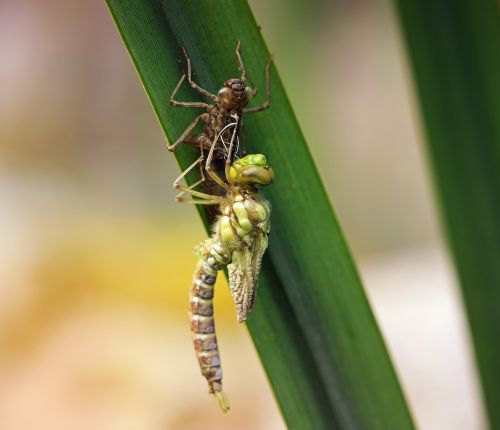 dragonfly young animal larva