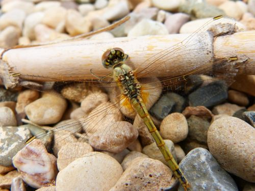 dragonfly yellow dragonfly cane