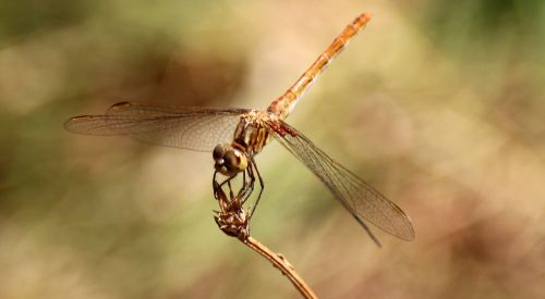 dragonfly insecta wings