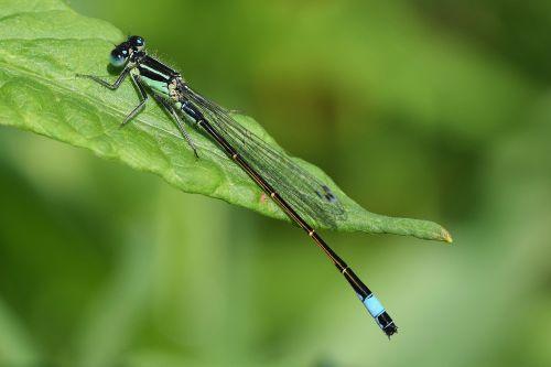 dragonfly close macro