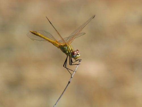 dragonfly sympetrum striolatum odonato