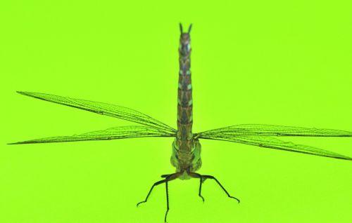 lazda,žalias,makro,vabzdžiai,Iš arti,natiurmortas,gyvūnai,laukinė gamta,žalias fonas,fauna