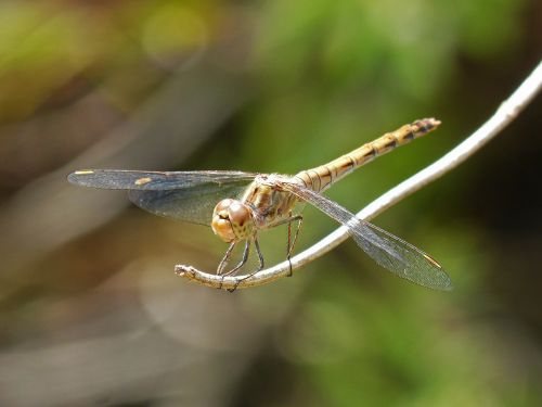 dragonfly sympetrum striolatum winged insect