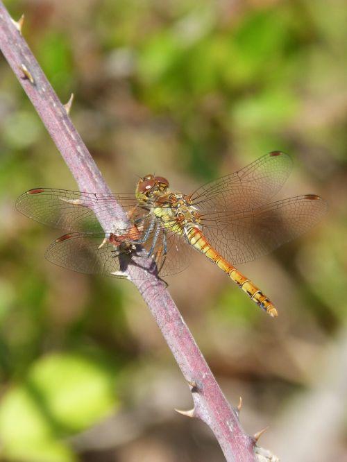 dragonfly sympetrum striolatum blackberry