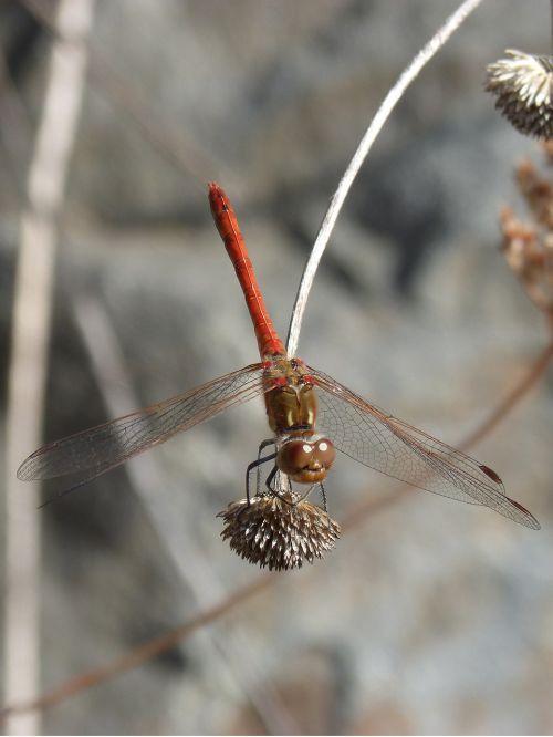 dragonfly sympetrum striolatum red dragonfly