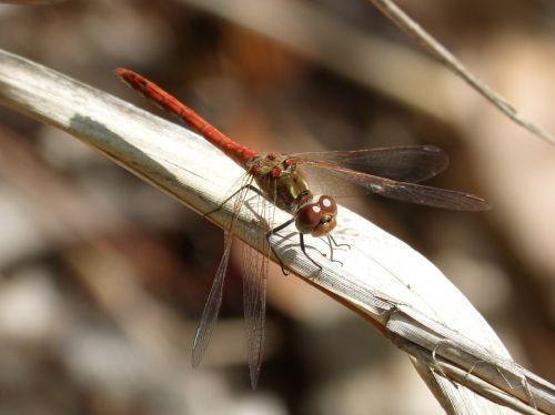 dragonfly sympetrum striolatum dragonfly leaf