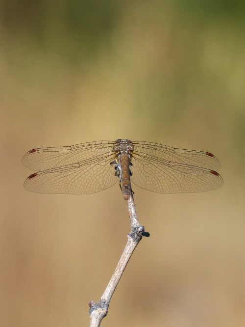 dragonfly branch sympetrum striolatum