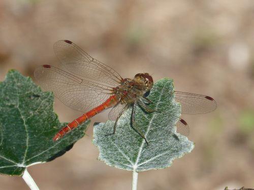 dragonfly leaf poplar