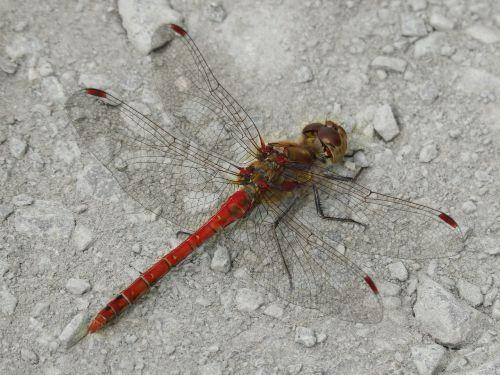 dragonfly red dragonfly sympetrum striolatum