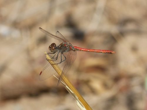 dragonfly red dragonfly winged insect