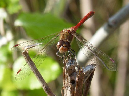 dragonfly red dragonfly branch