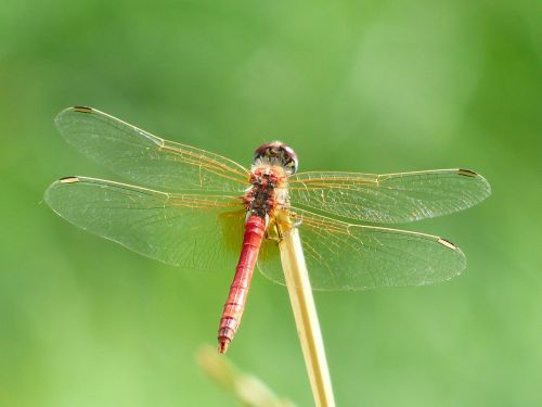 dragonfly red animal