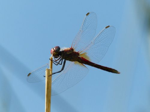 dragonfly red head