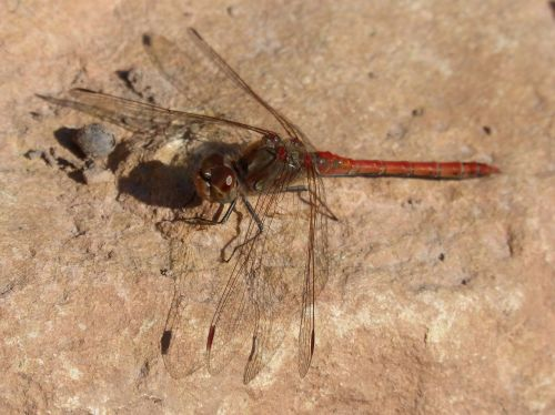 dragonfly red dragonfly rock