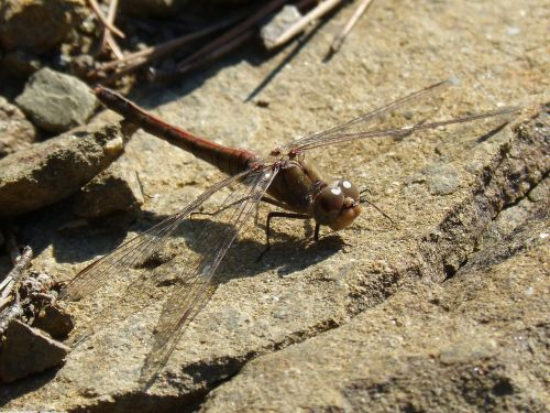 dragonfly winged insect detail