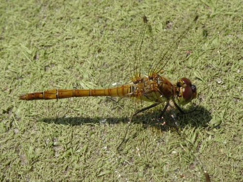 dragonfly close nature