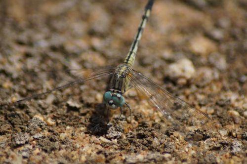 dragonfly bug bugs