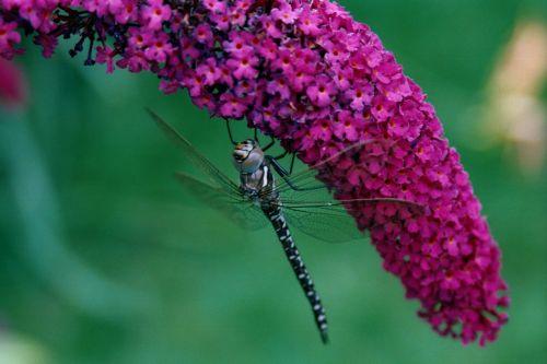dragonfly nature buddleja
