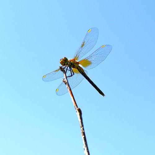 dragonfly wings hymenoptera