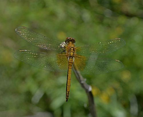 dragonfly hymenoptera n
