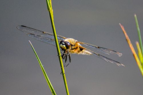 dragonfly animal close