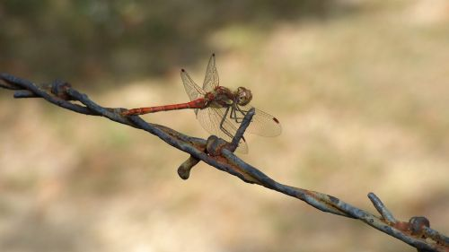 dragonfly insect barbed wire