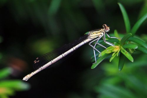 dragonfly close insect