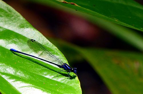 dragonfly insects odonata