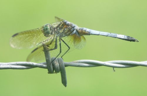 dragonfly insect bug