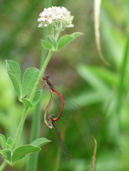 dragonfly damselfly ceriagrion tenellum